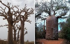 Novos Insólitos: 7 Árvores excepcionais de 'outro mundo'