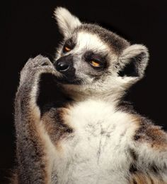 lemur deep in thought