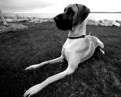 Love great danes