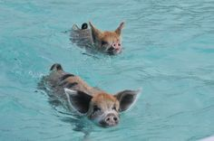 Pig Island, or Big Major Cay, is an area in the Caribbean full of feral pigs that love to swim!