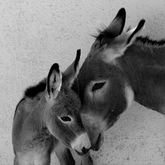 ☀Mama mule with baby mule. Complete admiration of each other.