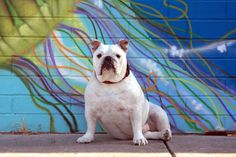 Pudgie - English Bulldog