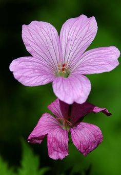 Old And New by AnyMotion  French crane's-bill / Basken-Storchschnabel (Geranium endressii)❤️