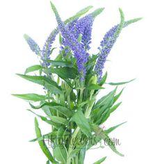 FiftyFlowers.com - Veronica Flower Purple with Blue Hues