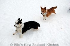 The Daily Corgi: Hammy, Phoebe, Roxy and Tolee of New Hampshire #corgi