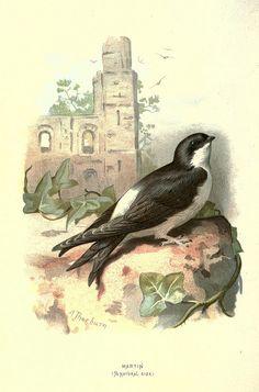 Familiar wild birds /.  London ; New York :Cassell,1883..