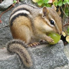 i love chipmunks! they're so cute!