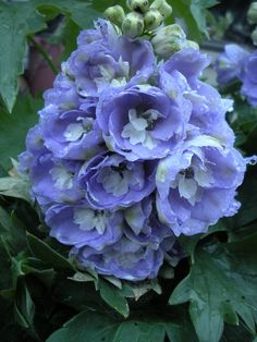.periwinkle blue