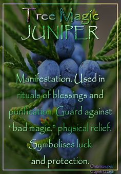 """JUNIPER Manifestation. Used in rituals of blessings and purification. Guard against """"bad magic."""" physical relief. Symbolises luck and protection."""
