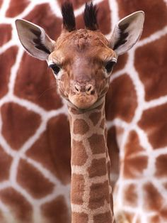 A Three Week Old Baby Giraffe at Whipsnade Wild Animal Park Pictured in Front of Its Mother Photographic Print