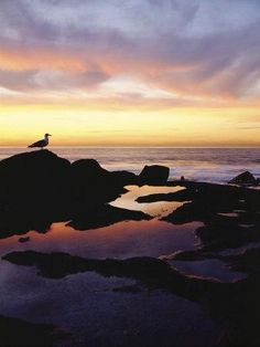 Seagull at Sunset Cliffs Tidepools on the Pacific Ocean, San Diego, California, USA