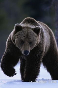 anim, beauti bear, brown bear, grizzli bear, grizzly bears
