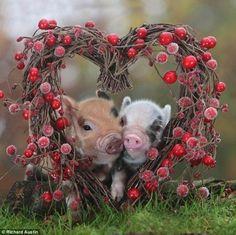 Piggies!