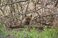 Did you know that red fox in Maine are usually born between March and April? Young fox, called kits, emerge from their dens after about four weeks. The male and the female help care for their young until the kits leave to establish their own territories, usually in the fall. Photo courtesy of Elizabeth Barr.  This post originally appeared on the Rachel Carson National Wildlife Refuge page