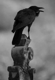 Raven. #crow #bird #black