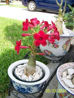 One of my small pot and named Red Leo for it flower.