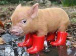 piggi, red boots, teacup pigs, pig wear, rain boot, ador