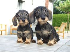 ♥♥♥ #wirehaired #black and #tan #dachshund #puppies