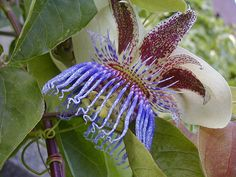 passionflower, used to have these growing wild where I grew up
