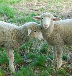 Sheep at White Flower Farm, May