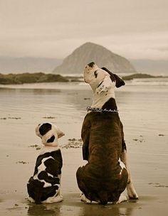 American Bulldog father & son - perhaps in Morro Bay?