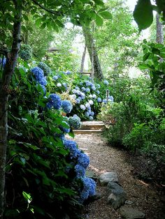 hydrangeas and pea gravel and boxwoods
