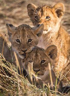 Lion cubs  (by BradyzNZ on Flickr*)