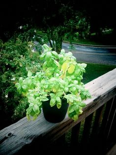 My basil plant!