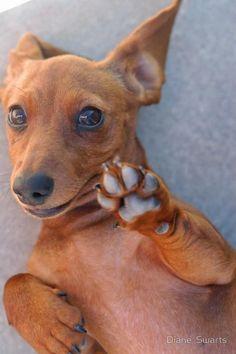 Dachshund - talk to the paw!