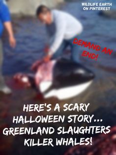 Well... Here's a SCARY halloween story for kids... Greenland KILLS Orcas! - Wildlife Earth on Pinterest.