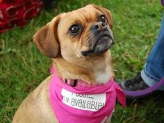 Repin this sweet puggle and get her home! Daisy is an adoptable puggle in Princeton, MN. She loves going for walks, playing fetch, cuddling, & her soft blanket. Is she your dream girl? Click on the picture to learn more!