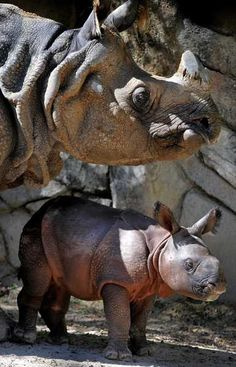 baby Greater One-horned rhino, Asha born at the Fort Worth Zoo