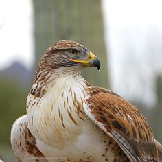 per prior pinner: Close-up of a Ferruginous Hawk  (Buteo regalis) - photographed in Arizona by B N Sullivan