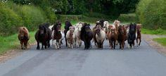 Photo by: Plumtree Miniature Shetland Pony Stud  https://www.facebook.com/pages/Plumtree-Miniature-Shetland-Pony-Stud/307890699259491?fref=ts