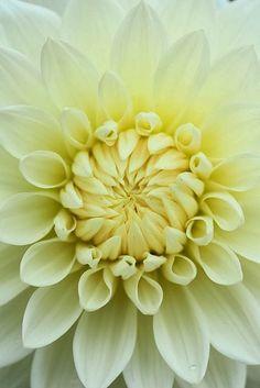 Dahlia plant, dahlia koiren, flora, dahlias, natur, bloom, beauti, dahlia flower, garden