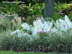 Caladiums for the beds