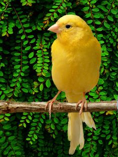 Tiki bird is a yellow Canary like this one-sings his head off!