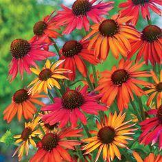 Hot Summer Coneflower   Spring Hill Nursery