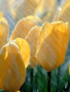 Spring Rain and yellow tulips