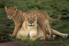 Mommy lion and cub (Mom and Me by Rudi Hulshof on 500px)