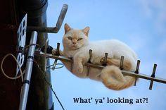 Antennae cat.