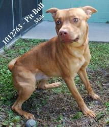 1012763 is an adoptable Pit Bull Terrier Dog in Brooksville, FL.  ...