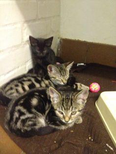 Tabby kittens whisker kitten, tabbi kitten
