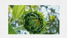 SunflowerBuds Canvass in Oil Mixed Media Photography