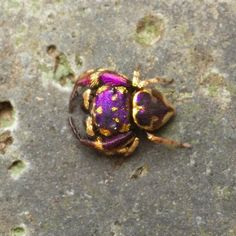 Purple and Gold Jumping Spider Found in Thailand