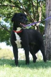 Sassy is an adoptable Border Collie Dog in Concord, CA. Sassy, a 5 y/o sweetheart, was abandoned by her family at a boarding kennel. I don't think she knew any english commands prior to her arrival th...