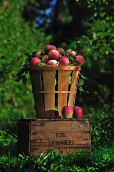 :: Happy Fall:: Apple harvest...reminds me of Sunny Slope Orchard, fresh apple cider, Mom's homemade applesauce, growing up in Bridgeton (note the wire bound basket like the ones they used to make at Jersey Package).