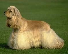white hair, dogs, colors, pet, cocker spaniel