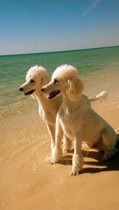 2 standard poodles