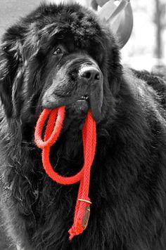 dog park, newfoundland dogs, heart of gold, newfi, puppi